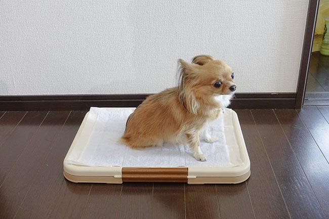 トイレのしつけ方法!お家に迎えたらすぐに実践しましょう!