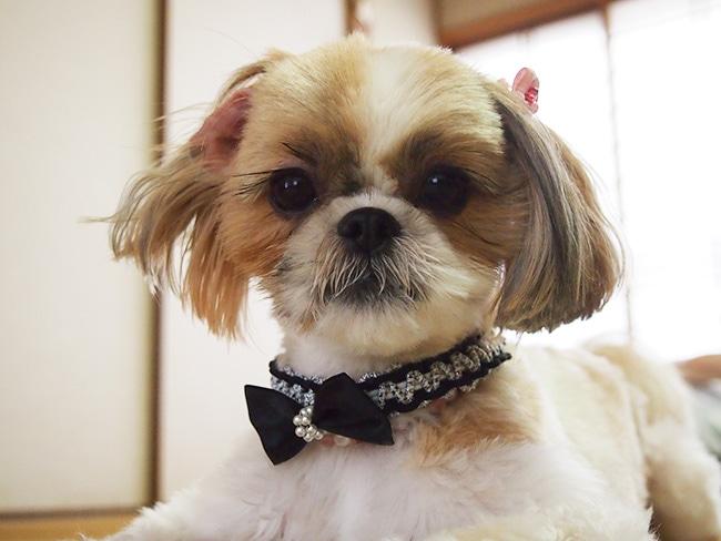 愛犬におしゃれな首輪を手作りしましょう!