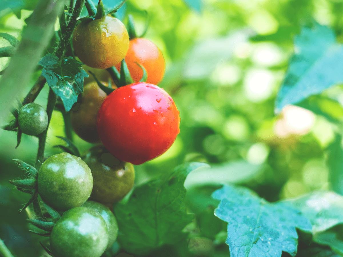 犬はトマトを食べれるけど未熟なトマトはNG!トマトジュースなどの加工品を与えるときの注意や1日の目安量