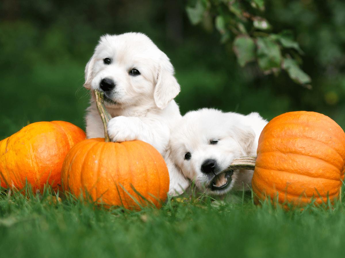 犬にかぼちゃをあげるときの適量は?生や種・皮つきはあげてもいいの?正しい与え方を知って愛犬に健康を