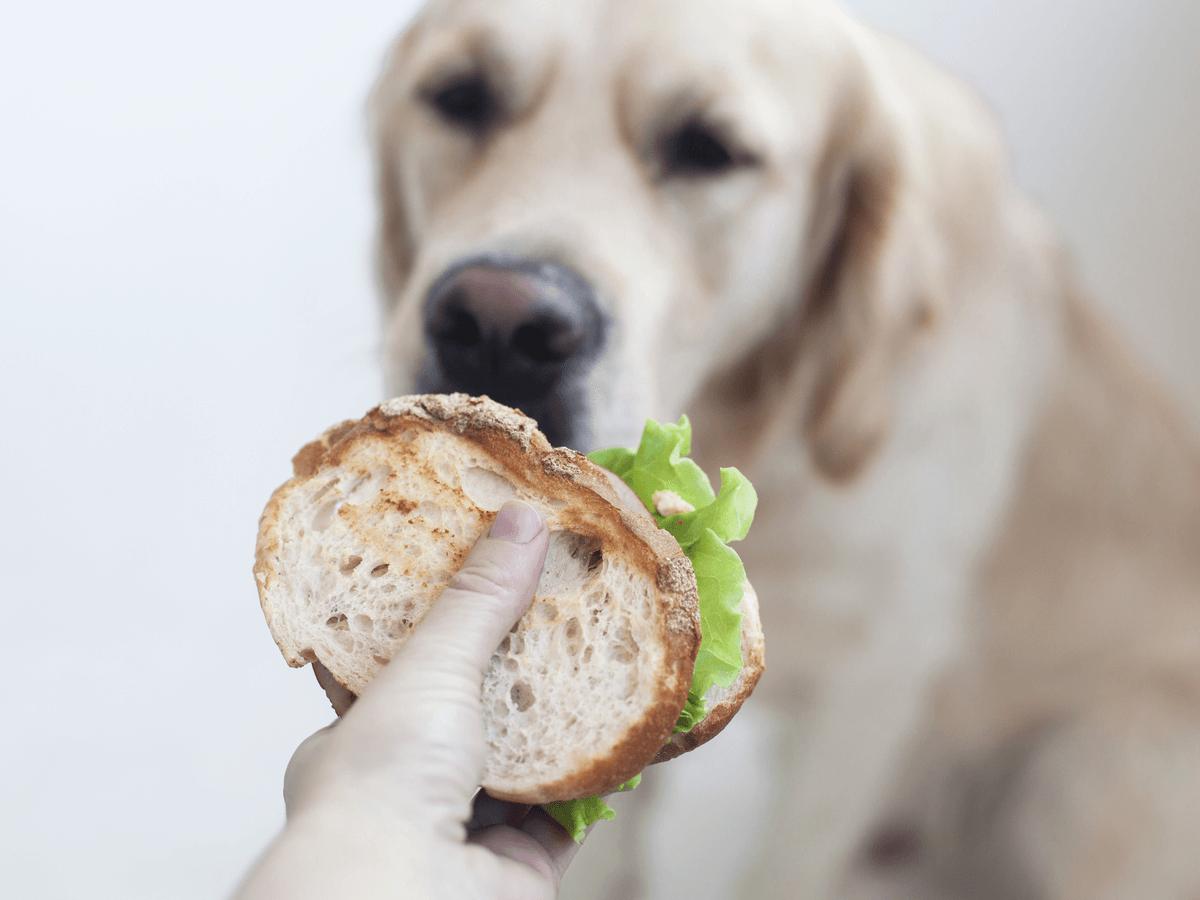 犬が人間用のパンを食べてはいけない7個の理由!もし食べちゃったらどうすればいい?