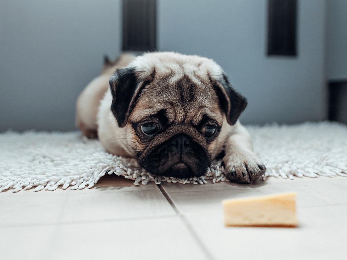 犬はチーズを食べられるけど避けた方がいいものもある!あげるなら塩分の少ないチーズでアレルギーにも注意