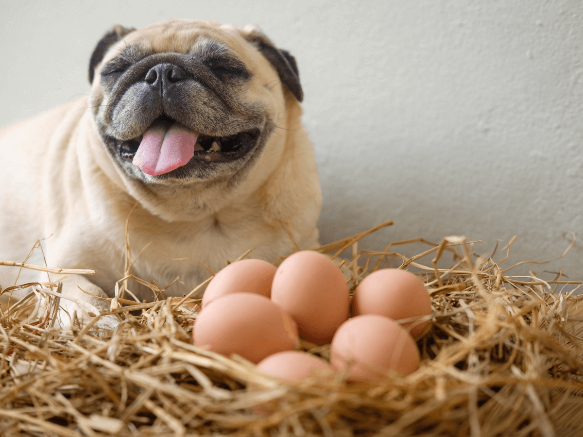 犬に卵を食べさせても大丈夫?白身や卵の殻は?与える際の注意点と調理方法