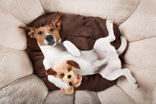 飼い主に懐いて服従のポーズをする小型犬の画像