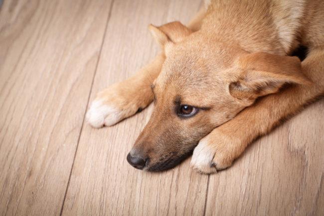 心に傷を負って落ち込んだ犬の画像
