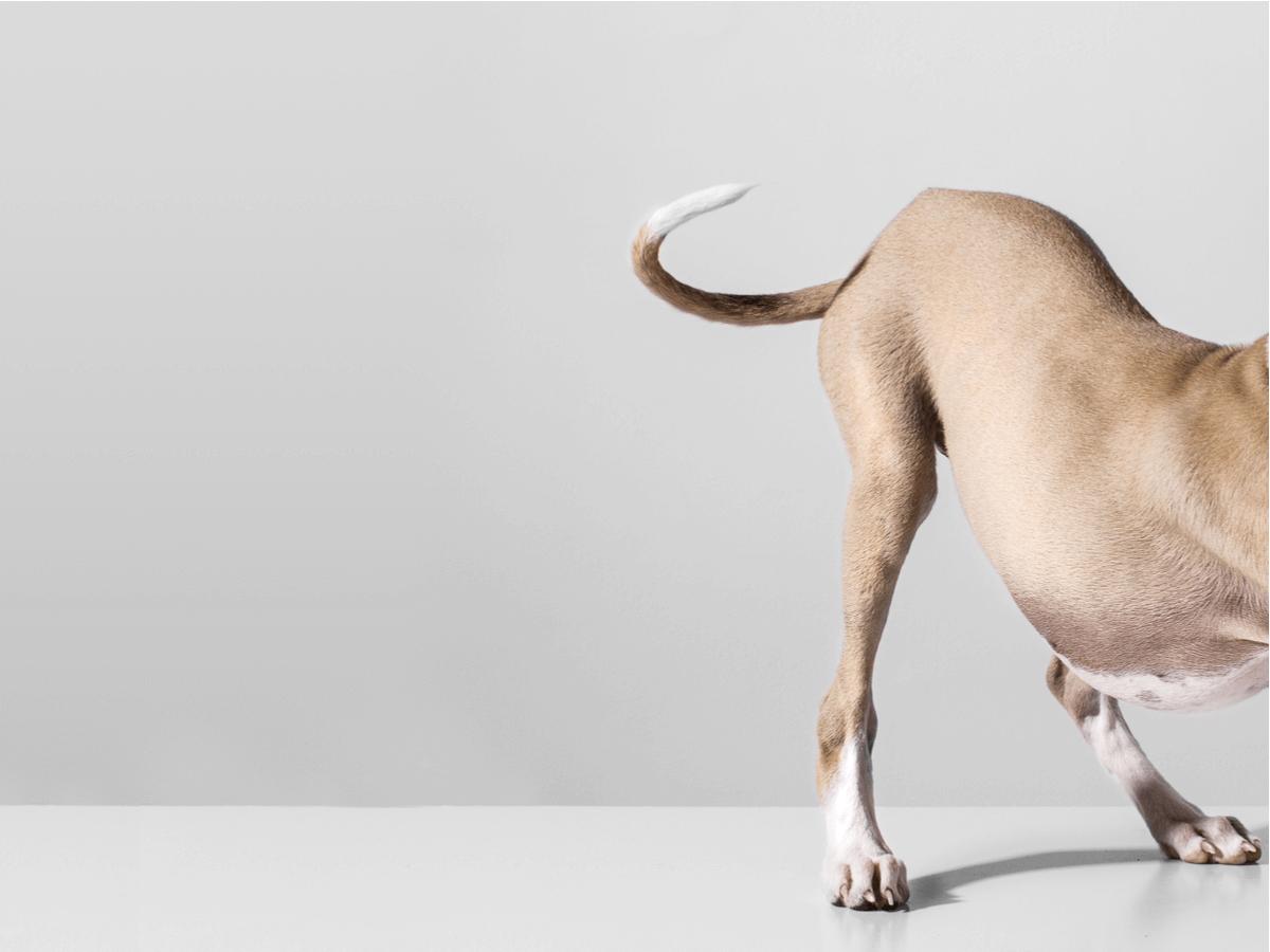 犬のおならが臭い原因は病気のサインかも!?それ以外の要因と4つの改善策